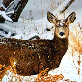 Aware Deer by Rob Bradshaw - Animals Other ( winter, snow, colorado, nature close up, aware deer )