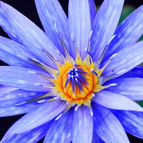 Blue flower. by Eliani Miranda - Nature Up Close Flowers - 2011-2013 ( center, blue, petals, yellow, flower )
