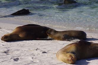 Photo: More nursing Sea Lions