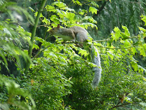Photo: The Eastern Grey Squirrel is not native to BC and is an undesirable invasive species:  http://www.bcinvasives.ca/invasive-species/invasive-organisms/eastern-grey-squirrel