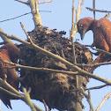 Rufous Woodpecker on termite nest