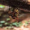 Beetle (couple)