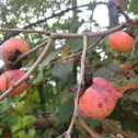Eastern Persimmon