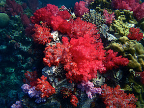 Photo: an assortment of colorful soft coral on underwater rocks, Koh Chabang
