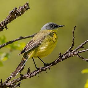 Western yellow wagtail by Rita Birkeland - Animals Birds ( bird, western yellow wagtail, bird photography, wagtail, norway )