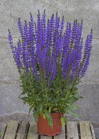 https://www.vitroflora.pl/img/produkty/rosliny/salvia-salute-deep-blue_1.jpg