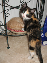 """Photo: This is Eliza (formerly known as """"Pepsi"""").  This is the other kitty we want to take home."""