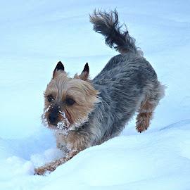 by Inger Lefstad - Animals - Dogs Running