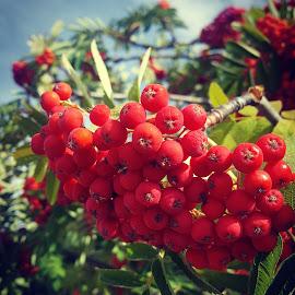 Wanaka cherries by Ankita Sharma - Food & Drink Fruits & Vegetables