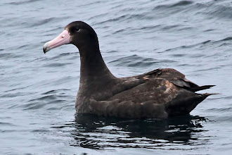 Photo: Short-tailed Albatross