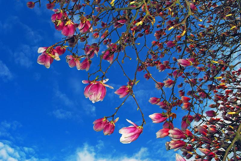 Magnolie di Daimon