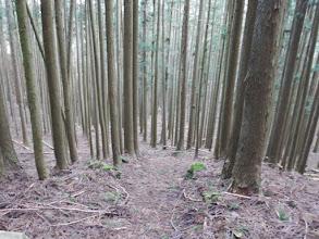 鬱蒼とした植林帯を降りる