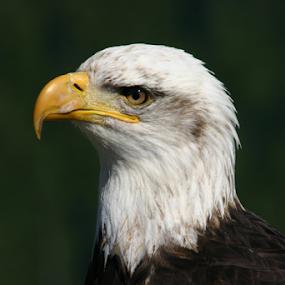 Eagle by Reinilda Sissons - Animals Birds ( wild life, eagle, birds,  )