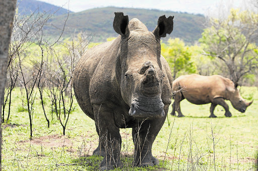UNDER THREAT: White rhino in a game ranch in neighbouring South Africa Picture: JAMES OATWAY