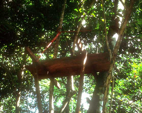 Typical wooden tree platform from which tapirs were darted.