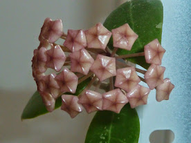 Floraison Hoya acuta 0l6Jp6Y-Tels-bkcdQcuwo6sUg_aVH3aYPz2AyyApLI=w276-h207-p-no