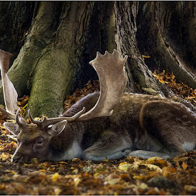 afternoon nap by Dusan Vukovic - Animals Other ( autumn, forest, deer )