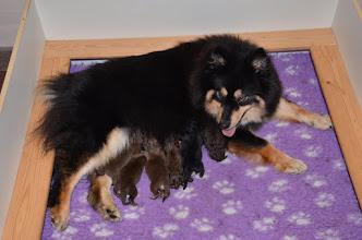 Photo: 6 stk. C hvalpe født 22. november 2015. Maaru holdt os vågne fredag nat og hele lørdag sad jeg hos hende. Vi havde ikke lige regnet med, at det skulle tage hele weekenden.