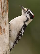 Photo: Downey Woodpecker