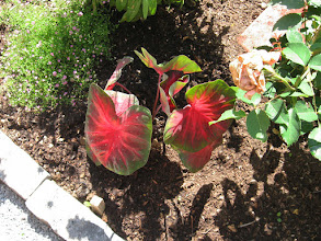 Photo: Glowing Red Leafed Caladium