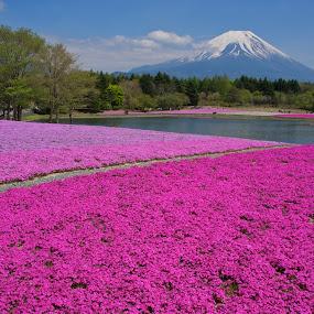 Mount Fuji and Shibazakura by Paul Atkinson - Landscapes Prairies, Meadows & Fields ( volcano, japan, mount, moss, fuji, pink, japanese, landscape, phlox, shibazakura )