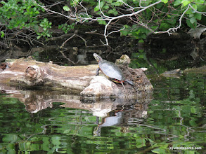 Photo: Turtle on driftwood at Brighton State Park by Debbie Thomas