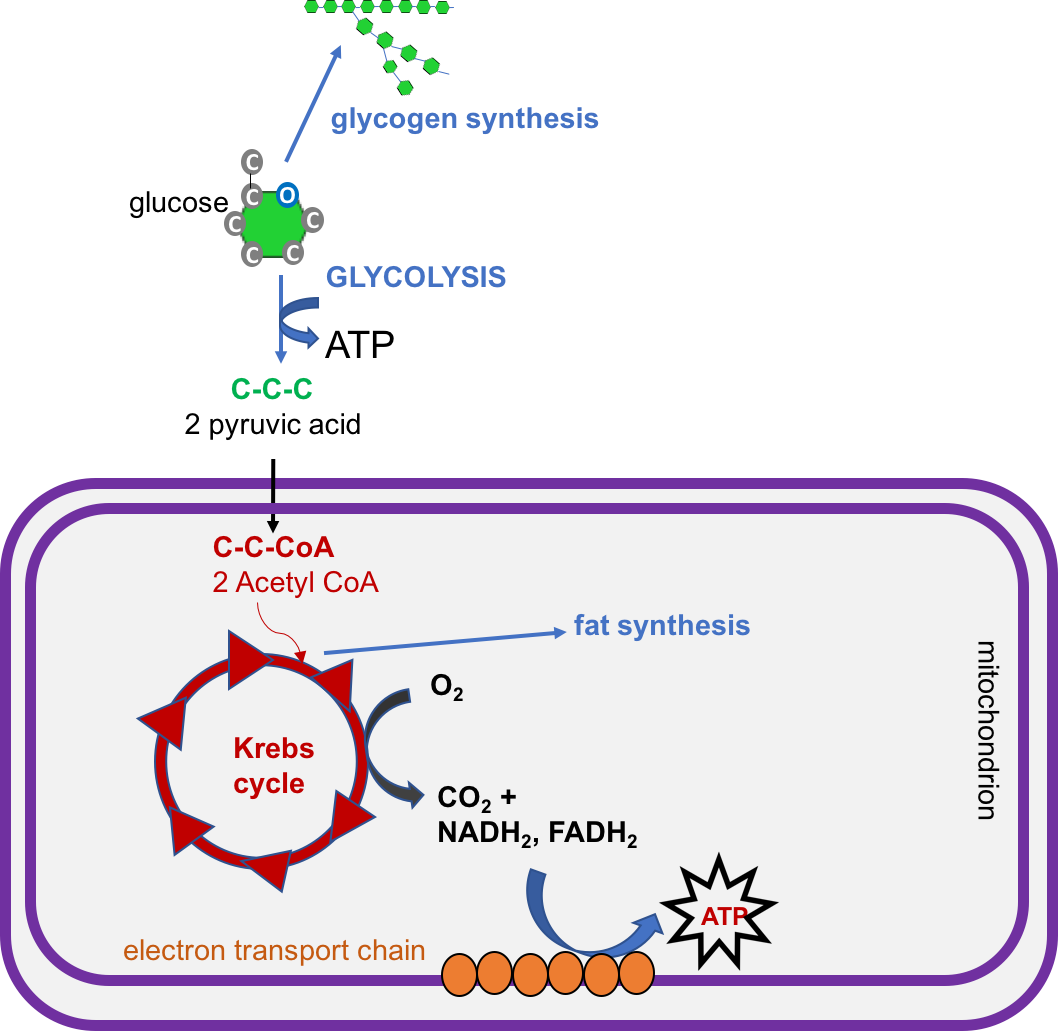 Glucose Regulation and Utilization in the Body