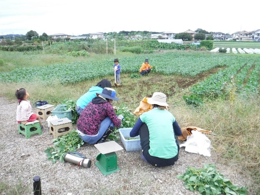 収穫日に、みんなで枝豆をもいでいるところ。