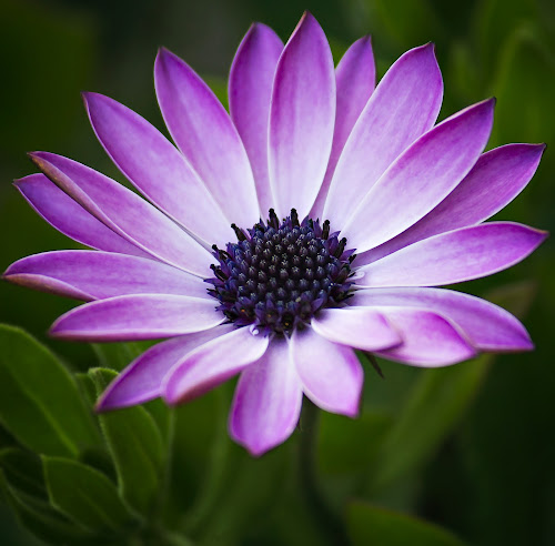 PD by Michael Michael - Flowers Single Flower ( macro, purple, single flower, detailed, daisies, daisy, flower, purple flower,  )