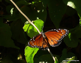 Photo: Soldier butterfly (Danaus eresimus) on our last morning at Rancho Primavera