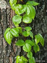 Photo: Poison Ivy, 5.9.10