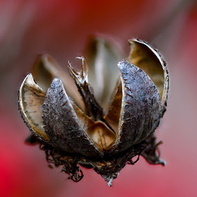 Pods by Craig Turner - Nature Up Close Other plants ( close up, macro, around the house, closeup, stacking )