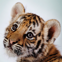 Amazing Tigers Wallpapers icon