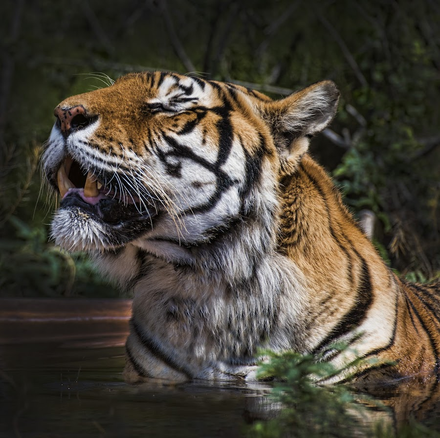 Tiger Bather by Lisa Coletto - Animals Lions, Tigers & Big Cats ( carnivore, tiger, sunbathing tiger, feline, bathing tiger,  )