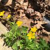 Common Yellow Wood Sorrel
