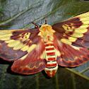 Citheronia laocoon Moth