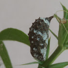 Pupa of blue pansy I