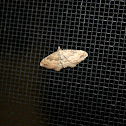 White-banded toothed carpet