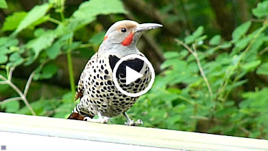 Video: Male Red-shafted Northern Flicker drumming on a BBQ lid.