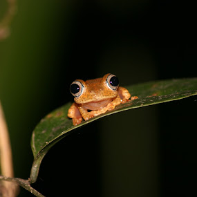 Andasibe frog by Sam W - Animals Amphibians ( orange, andasibe, frog, green, malagasy, madagascar )