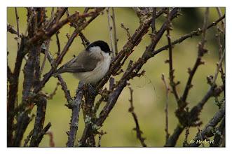 Photo: Weidenmeise (Poecile montanus) auf Futtersuche