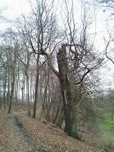 Photo: Alte Buche in Naturschutzgebiet ,Funckenhauser Bachtal'; am linken Bildrand befindet sich das Vereinshaus der Vorhaller Schützen.