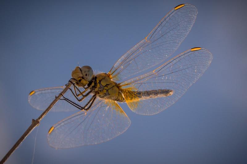 Yellow Dragon Fly di NickAdami