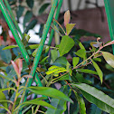 Philippine Green Tree Pit Viper