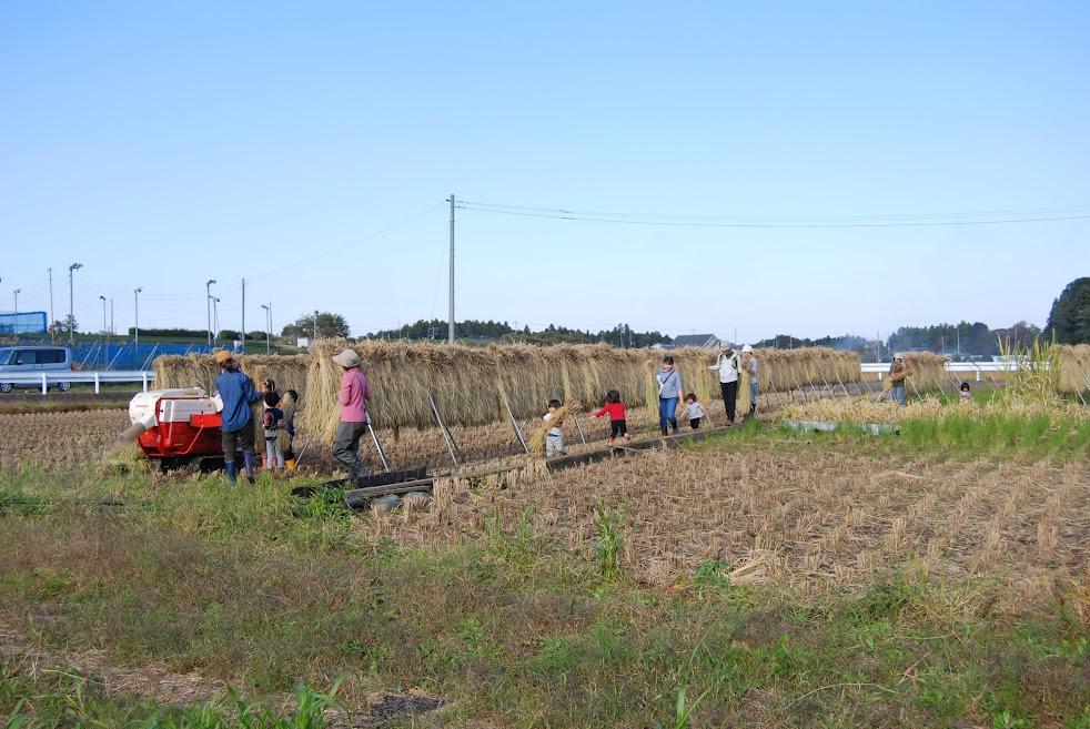 まずは、種用の豊里をみんなに運んでもらって脱穀しました。稲がかかっているのを「稲架(はざ)」といいます。