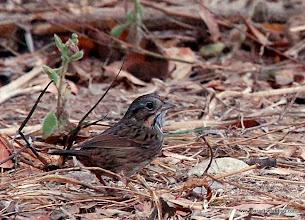 Photo: Wintering Lincoln's Sparrow, Nuevo Vallarta