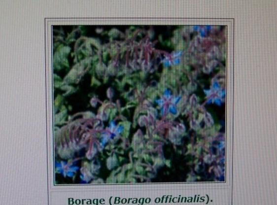 1/2 teaspoon dried borage or a few fresh leaves