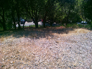 Photo: Wood chips from eradicated eucalyptus make great mulch.