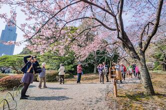 Photo: People admiring a plum blossom treet in Shinjuku Park, Tokyo