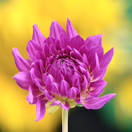 Purple Bud by Jim Downey - Flowers Single Flower ( bud, green, dahlia, yellow, purple )